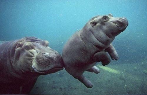 YIMMY'S YAYO™ #cute #hippo #baby