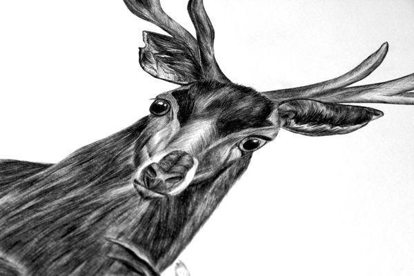 Deep forest by Lara Bispinck, via Behance #deer #biro #illustration #realistic #forest #animal