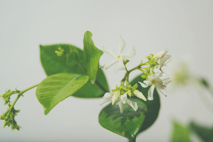 starjasmine5.jpg #plants #jasmine #photography #studio #foiliage #flowers