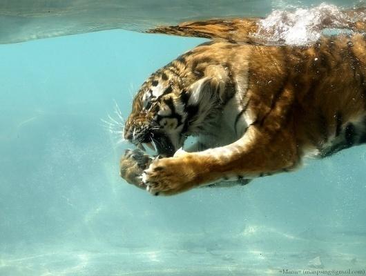 img01.jpg 720×544 pixels #pool #tiger #photography #water