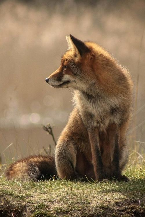 brazenbvll: Wild Fox: (©)#wild #fox #warm #calm #photography #nature #summer #animal #peaceful #beauty