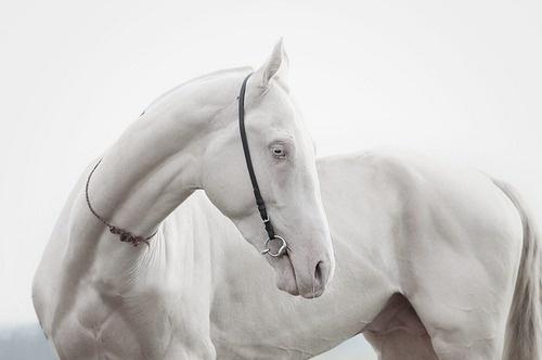 white horse #horse #white #photography #nature #animal