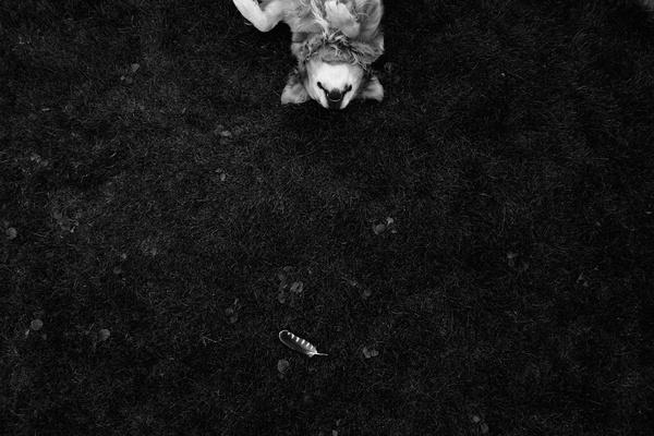 Gravitation #retriever #white #grass #black #play #golden #and