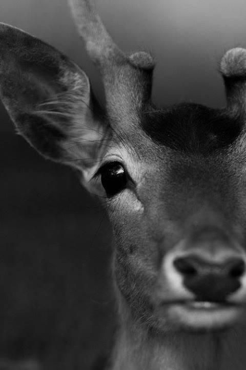 ZdjÄ™cia na osi czasu | via Facebook #antlers #deer #white #venison #eyes #black #photography #nature #ears #portrait #and #animal #beauty