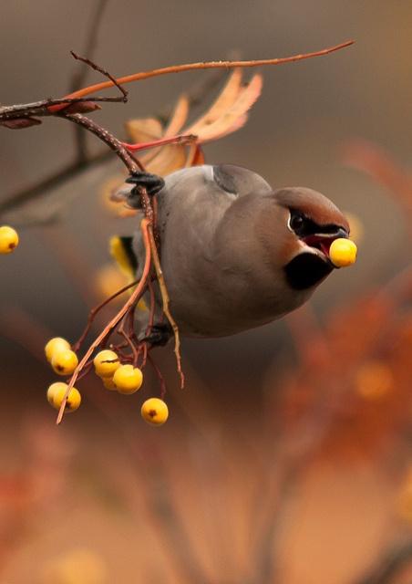 tumblr_lc63j2ORGa1qargfho1_500.jpg 452×640 pixels #yellow #bird