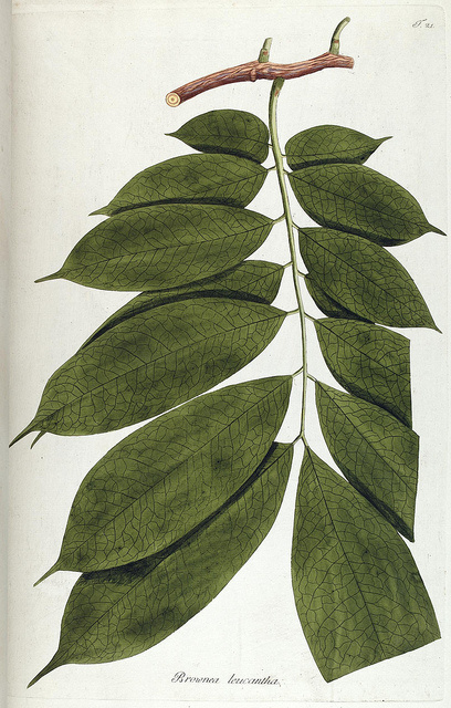 Fragmenta botanica, figuris coloratis illustrata. Viennae, Austriae : Typis Mathiae Andreae Schmidt, typogr. Universit., 1809.. biodiversity #flora #botanica #leaves #green