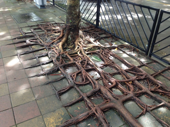 tree-roots-concrete-pavement-4 #root #photography #tree