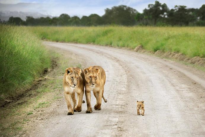 Masai Mara, Kenya TPOTY David Lazar #cub #lion #africa #big #cat #parents #photography #lioness #cute #animal #beauty