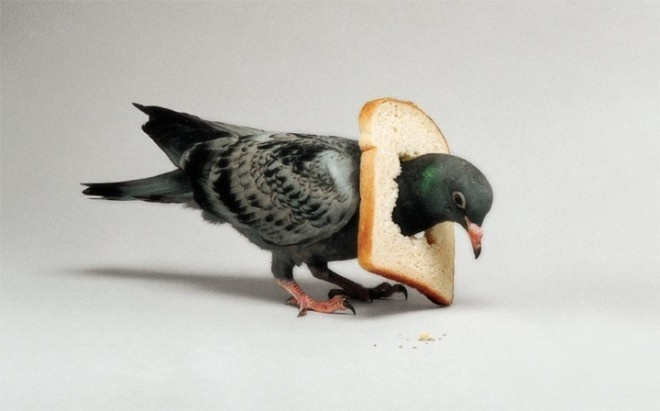 photo manipulation by nancy fouts #pigeon #bread #bird #eat #crumbs #stuck #photo manipulation #sculpture #photography #bizarre