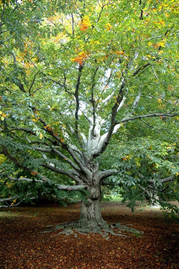 Photography #growth #beech #tree #green