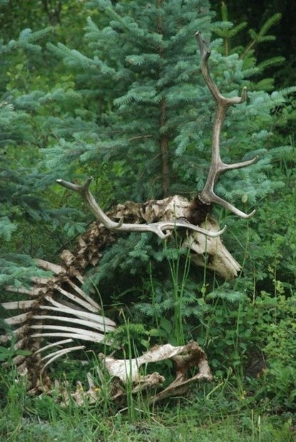 Skeleton via Baubauhaus. #photo #deer #skeleton