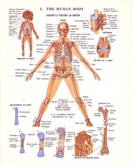 All sizes | 1970s Medical Illustration Diagrams | Flickr - Photo Sharing! #diagram #school #70s #body #human #illustration #medical #skull #bones #science