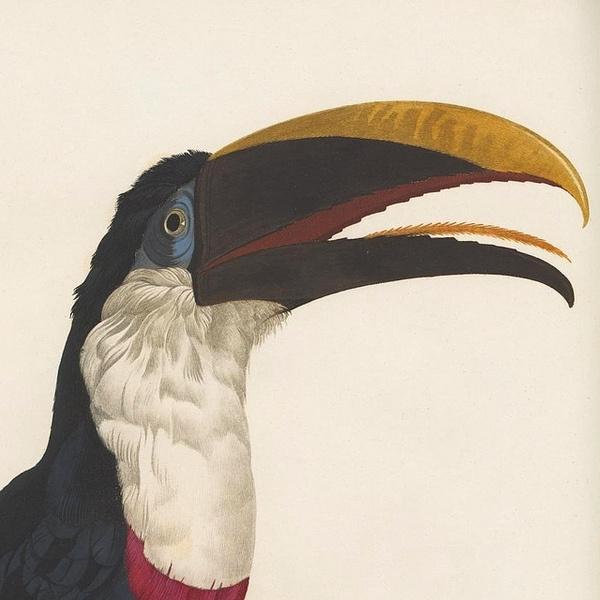 Toucan #19th #coloured #book #south #bird #hand #illustration #ornithology #century #america #beak #toucan