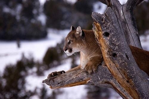 Mylo Xyloto #cougar #animals