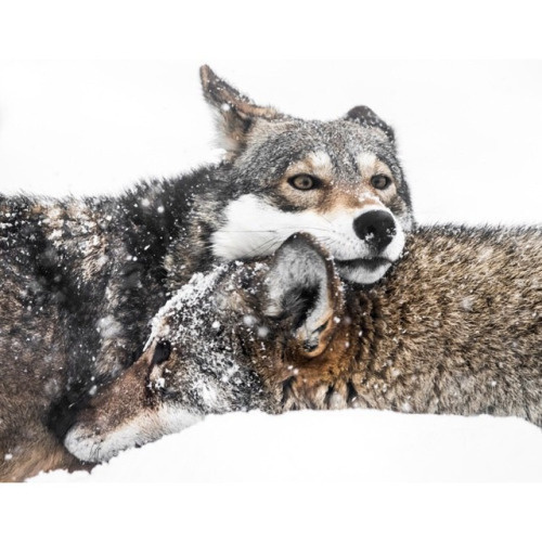 Abeselom Zerit wolves #wolf #snow #wild #wolves #wilderness #snuggle #fierce #incredible #intelegence