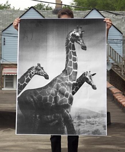 Giraffes Poster by debbiecarlos on Etsy #photography #giraffes #poster