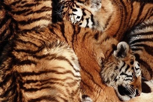 enthusiasm documented #tiger