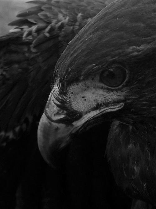 Beautiful Eagle #white #of #black #bird #beak #eagle #photography #and #prey