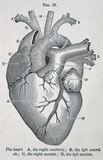btwww #heart #diagram #illustration #vintage #engrave #medical