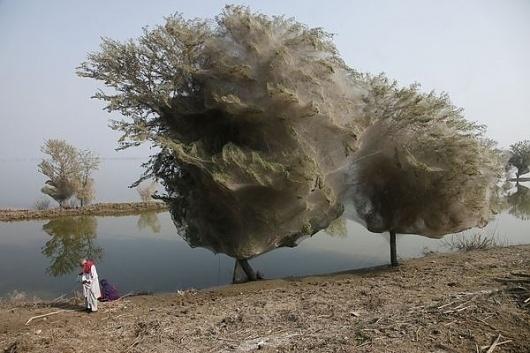 pakistan-floods-drive-spiders-into-trees-adult_34026_600x450.jpg (600×400) #spider #tree #pakistan