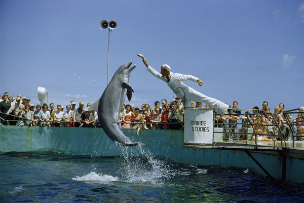 An attendant feeds a dolphin during a performance at Marineland in Florida, November 1952.Photograph by Luis Marden, National Geographic #water #act #dolphin #display #photography #vintage #jump #seaworld #splash #audience