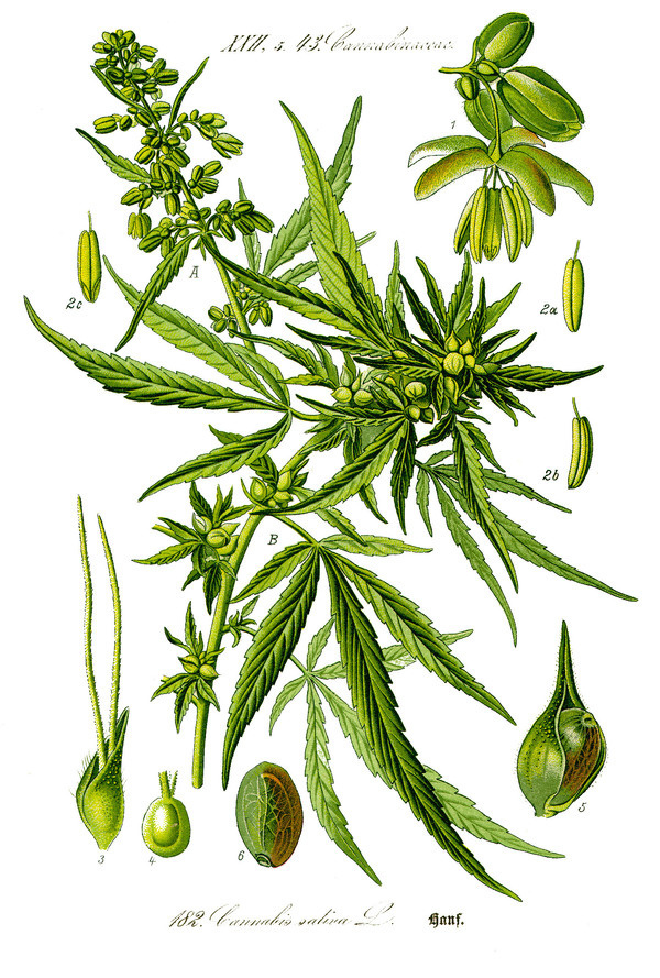 Illustration: Cannabis sativa #wilhelm #flora #thom #biology #print #fauna #otto #dr #illustration #and