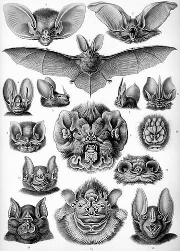 Ernst Haeckel - Artforms of Nature - Kunstformen der Natur #old #illustration #bat #vintage