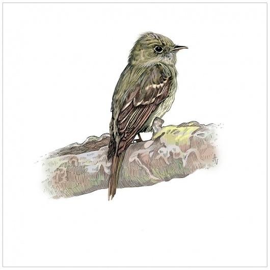 Bird Illustration #illustration #verkamp #ashley #bird