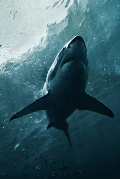 KING #shark
