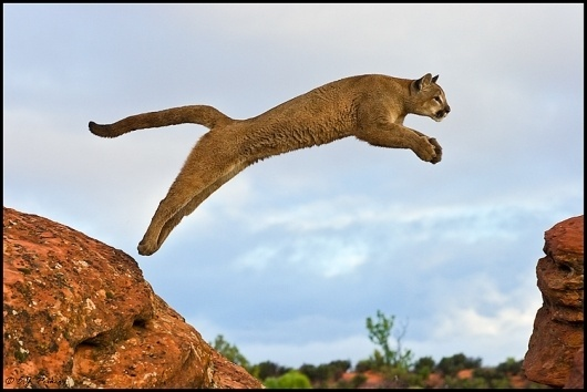 UT_Cougar01.jpg 750×501 pixels #inspiration #logo #puma