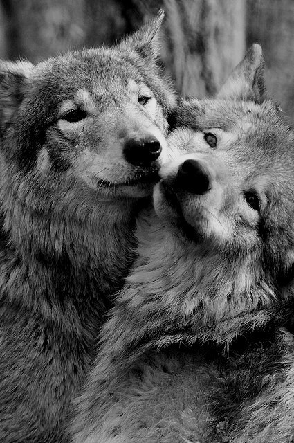 feeling #friendship #companion #white #wolves #canine #black #photography #nature #wolf #and #animal #love