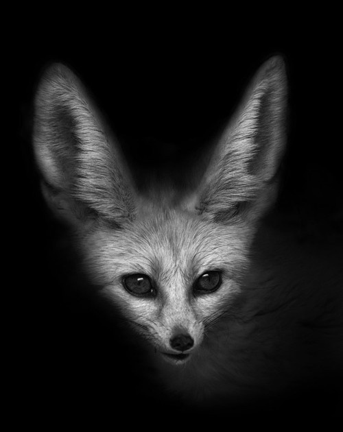 CJWHO ™ (Vulpes Zerda by John Dickens These beautiful...) #white #and #fox #black #nature #animals #vulpes #zerda