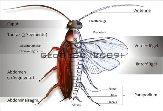 GeoDeSC » Portfolio #americana #biology #draw #design #graphic #insect #cockroach #periplaneta