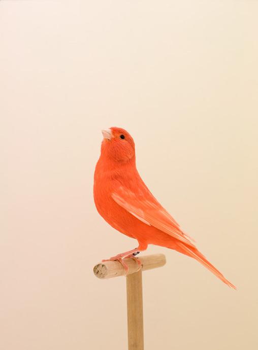 luke stephenson : red canary #1