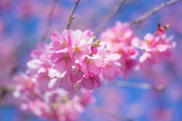 Cherry blossoms #photo #blossom #photograph #cherry #photography #vsco