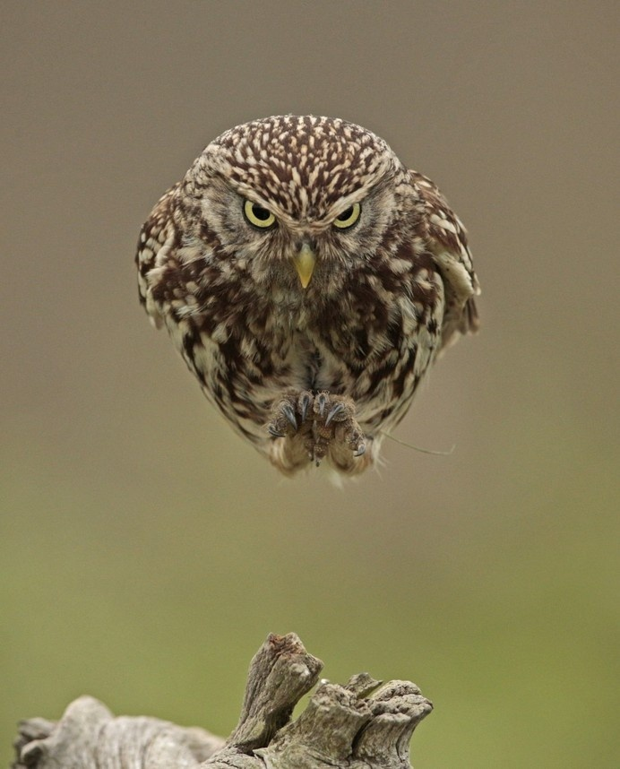 An Owl Flying Straight into a Camera Looks like a Hovering Spaceship owls birds #owl #humour #hover #float #bird #photography #levitate