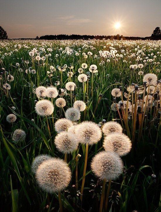 #dandelion#flower#sunset#white#green
