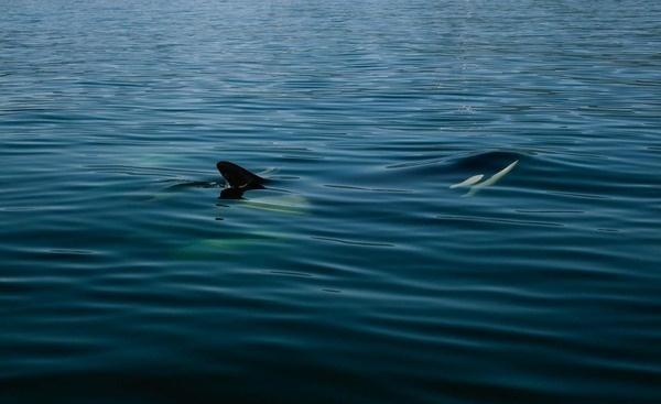 yellowfin 9.jpg #ocean #ripples #orca #water #whale #surface #killer