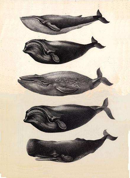 Whales - banshee03 #ocean #variety #diversity #mammal #illustration #sea #sealife #marine #whales