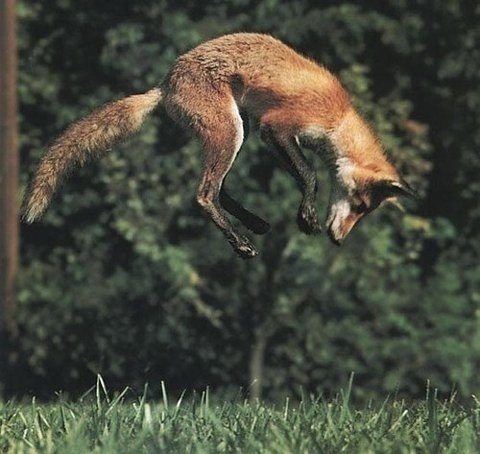 tumblr_l4wxvlDMEo1qzya49o1_500.jpg (480×454) #fox