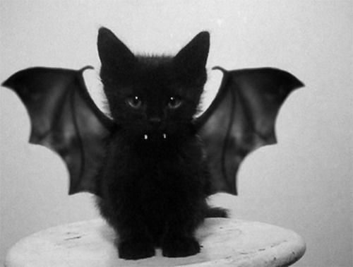 tumblr_lxs3feyZn51r2anlno1_500.png 500×378 pixels #kitten #cat #black #bat #lolcat #kitty #cute