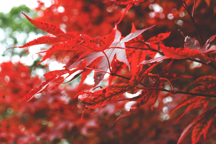 #Toronto #canada #photography #maple #red #love