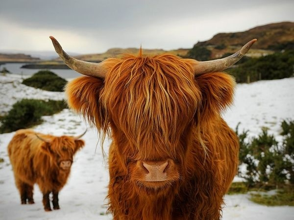 Photo: A breed of cattle with long, shaggy hair photographed in the Scottish Highlands