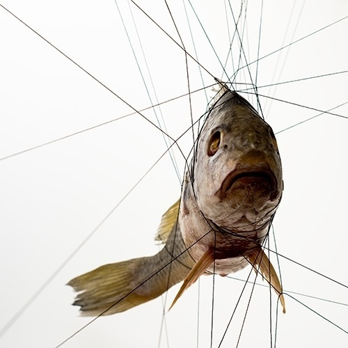 Buamai - Croaker2.jpg Jpeg Image, 500×500 Pixels #tensegrity #fish #photography #cuisine #animals