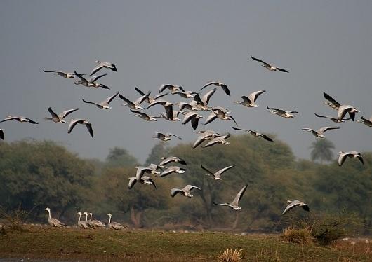 File:Bar-headed Geese- Bharatpur I IMG 8337.jpg - Wikipedia, the free encyclopedia #birds #nature #geese