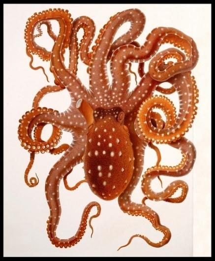 Octopus macropus | Flickr - Photo Sharing! #octopus