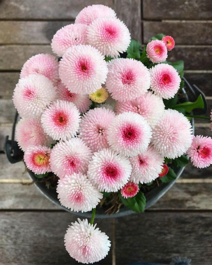 Bellis Flower Picture