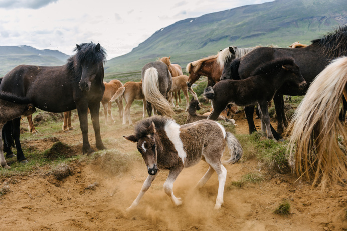 #iceland #horse #animals #foal #photo