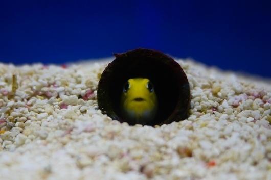 All sizes | Big Wonders | Flickr - Photo Sharing! #kaiyukan #osaka #yellow #fish #curious #aquarium #deep #sea #japan