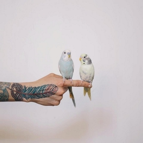 napoleonfour #fly #budgie #two #bird